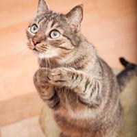 shutterstock_110549891_Hopeful_Cat_200px